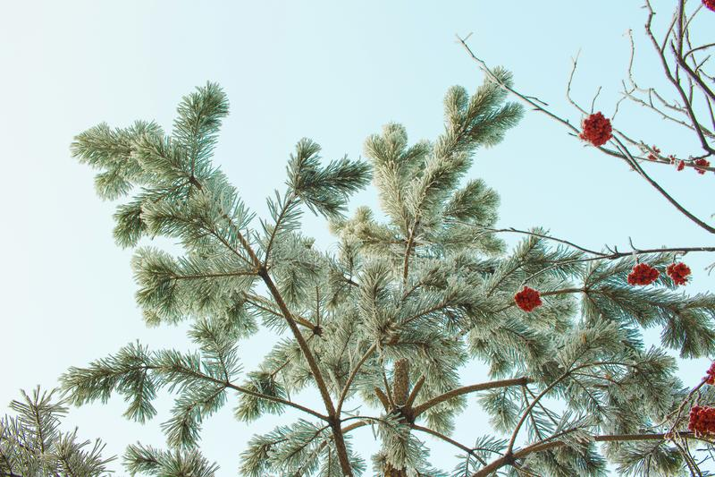 Snö täckte fryst sörjer trädet, rönnfilialen och ren blå vinterhimmel fotografering för bildbyråer