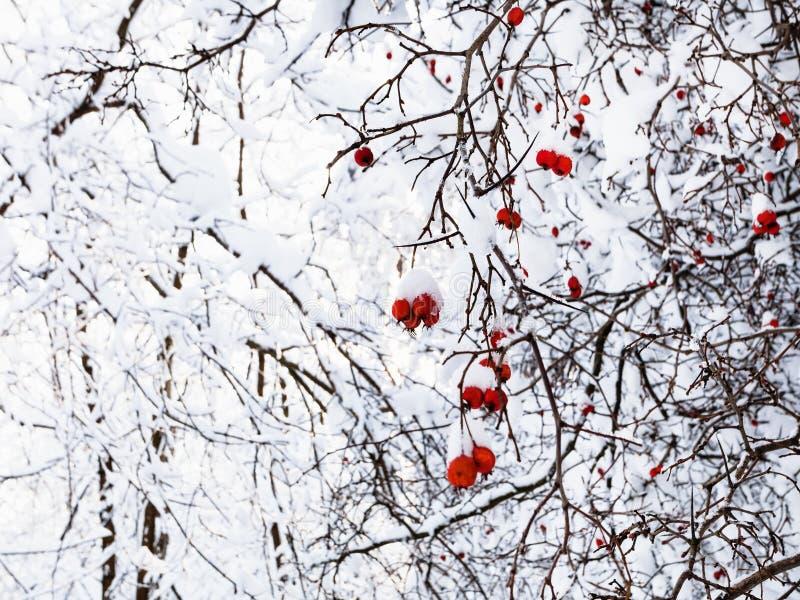 snö-täckte fryste hagtornbär på träd royaltyfri bild