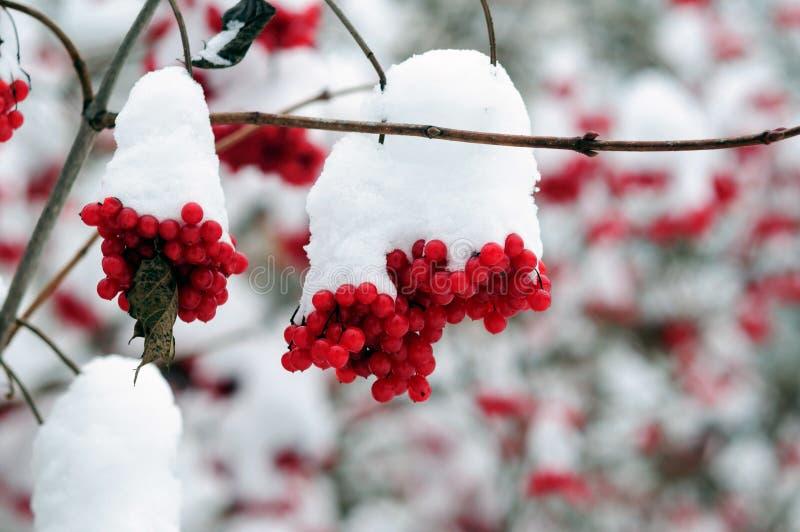 Snö-täckte grupper av röda viburnumbär i wintergardenen arkivfoton