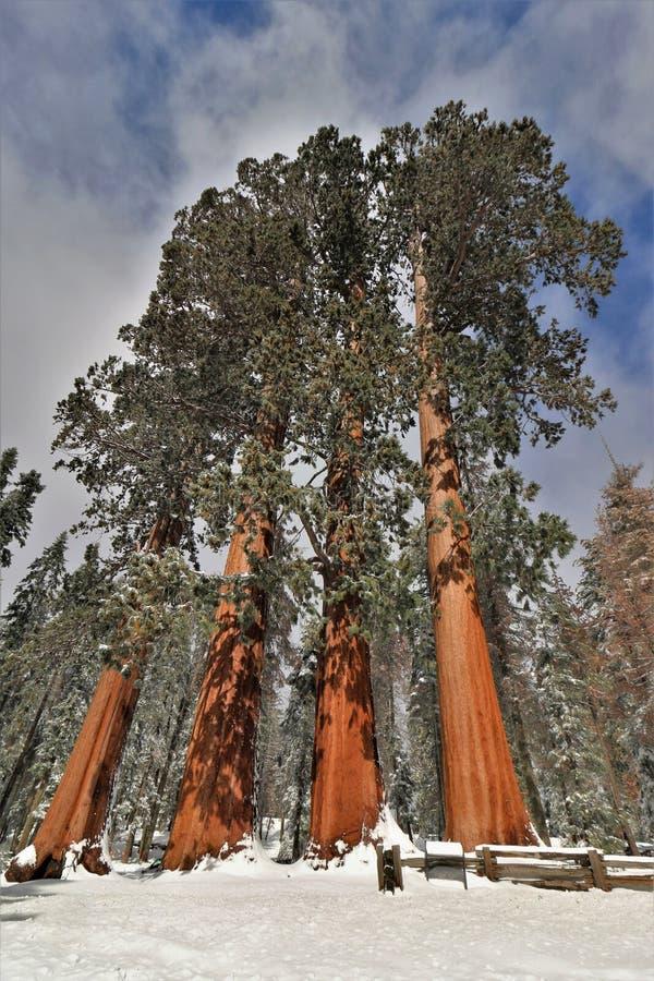 Snö täckte stora sequoiaredwoodträdträd kallade de fyra systrarna i sequoianationalparken Kalifornien royaltyfria bilder
