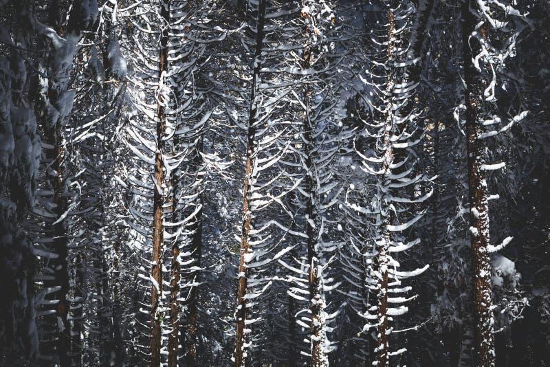 Snö täckte träd i en bakgrund för vinterunderlandlandskap arkivbild
