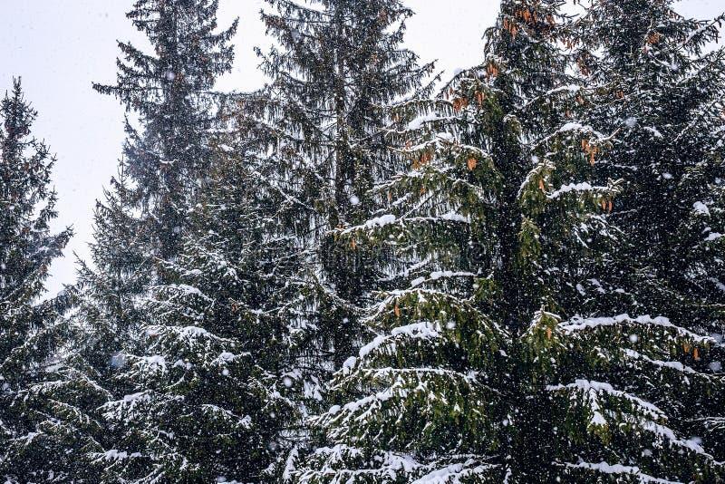 Snö-täckte träd med kottar arkivfoton