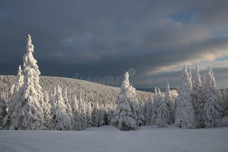Snö täckte träd på en bakgrund av mörka moln royaltyfria bilder