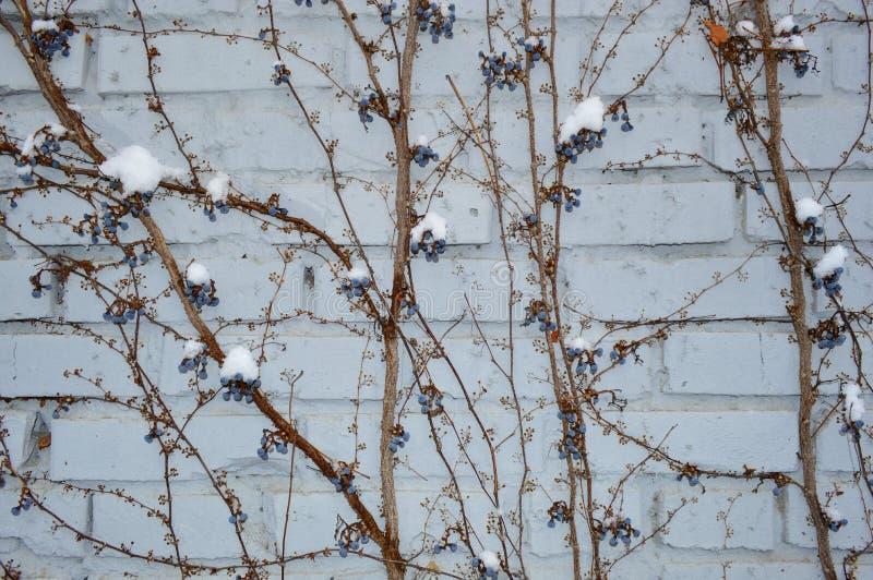 Snö täckte vinrankan royaltyfria bilder