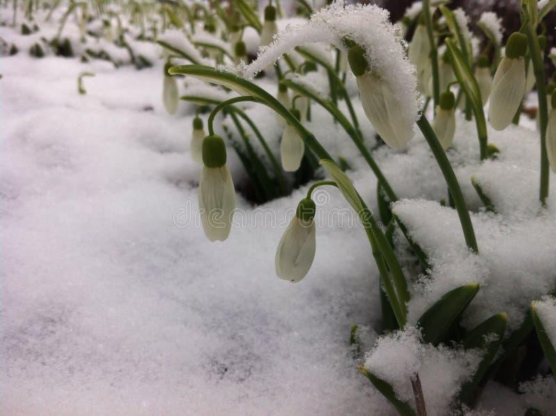 Snödroppar är de första blommorna av våren arkivfoto