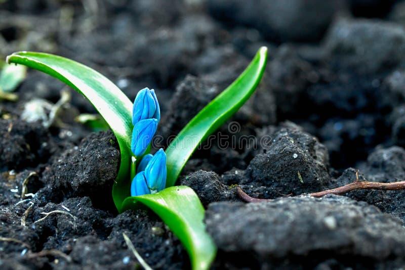 Snödroppar eller prolisk för första vårblommor blåa royaltyfria bilder