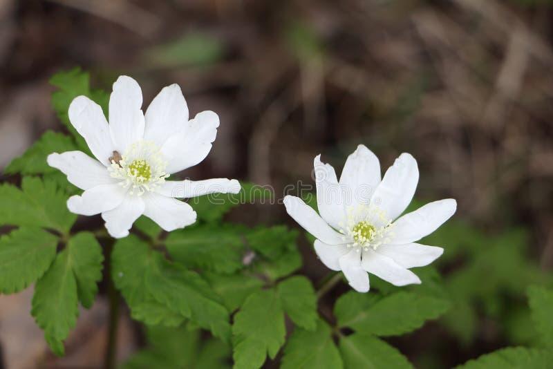 Snödroppar för vita blommor i trät i vår royaltyfria foton