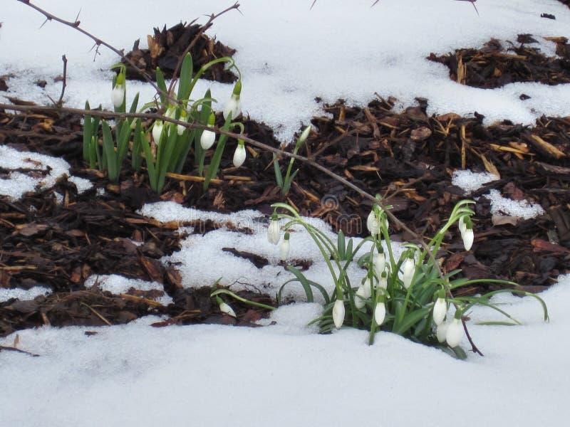 Snödroppar först fjädrar tidigt blommor royaltyfri foto