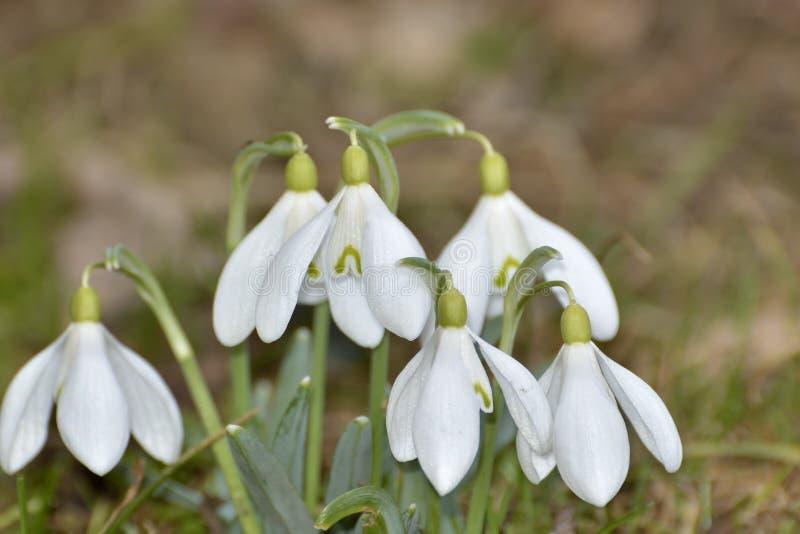 Snödroppar (Galanthus nivalis) i en skog royaltyfria bilder