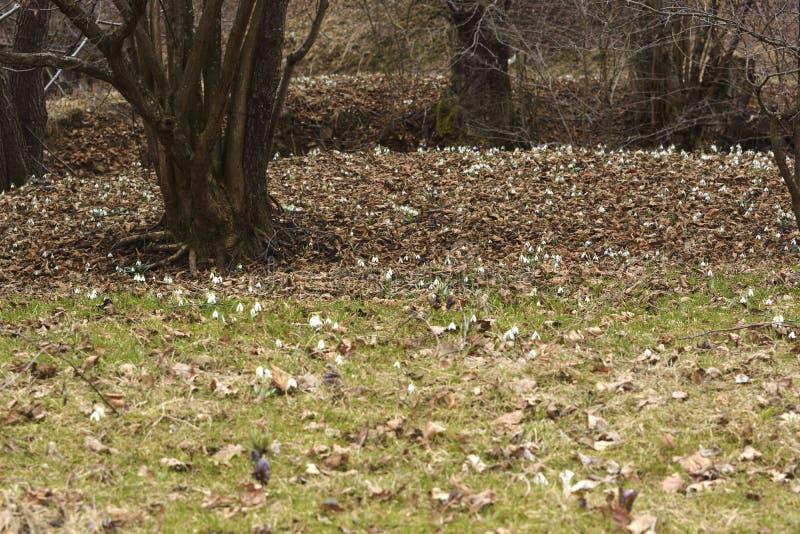 Snödroppar (Galanthus nivalis) i en skog arkivfoto