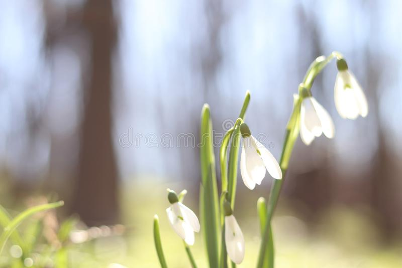 Snödroppar i skogvårblommorna vårskogen som går i skogen, vilar och blommor solig dag Solig morgon för vår fotografering för bildbyråer