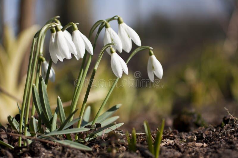 Snödroppar på våren arkivfoto