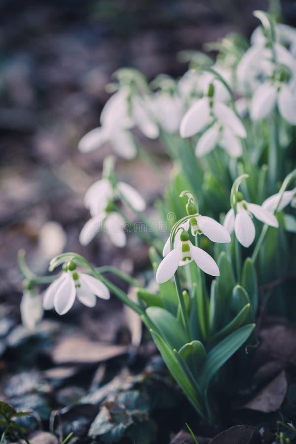 Snödroppar som utomhus blommar fotografering för bildbyråer