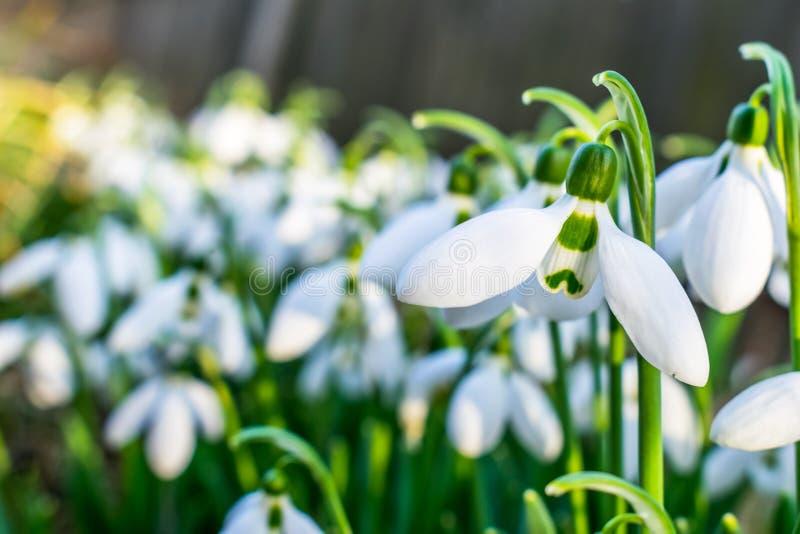 Snödroppar tidigt tajmar på våren royaltyfri fotografi