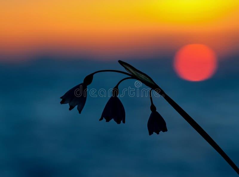 Snödroppe i solnedgångljus royaltyfria foton