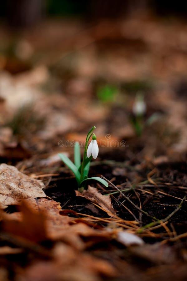 Snödroppe som blomstras i skogen efter vinter royaltyfri foto