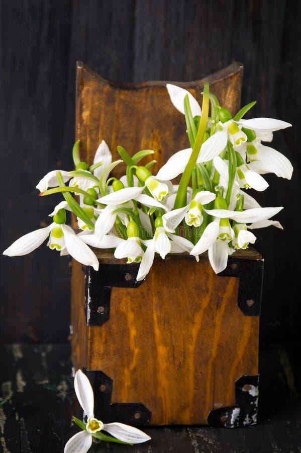 Snödroppen blommar i en träask royaltyfria bilder