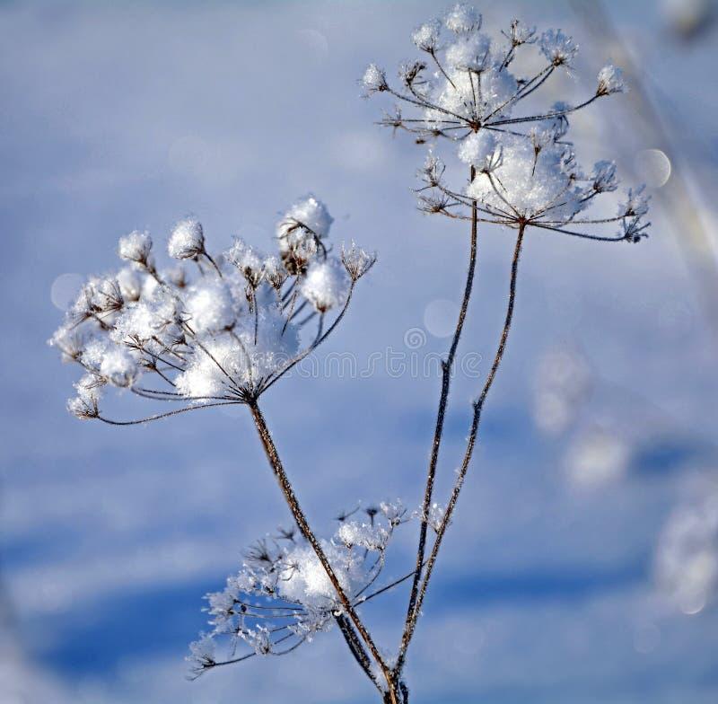 Sn?flinga fr?n en blomma Djupfryst blomma p? en bakgrund av den bl?a himlen Under av naturen H?rlig snowflake arkivfoton