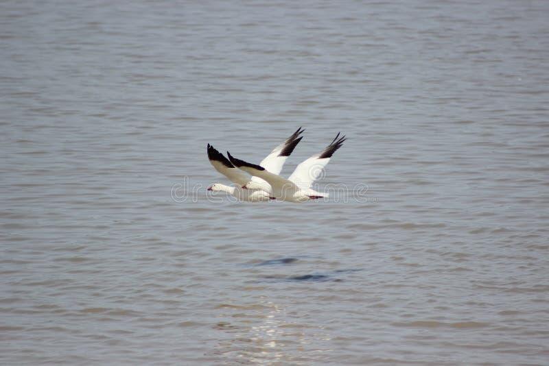 Snögäss som flyger över vatten royaltyfri bild