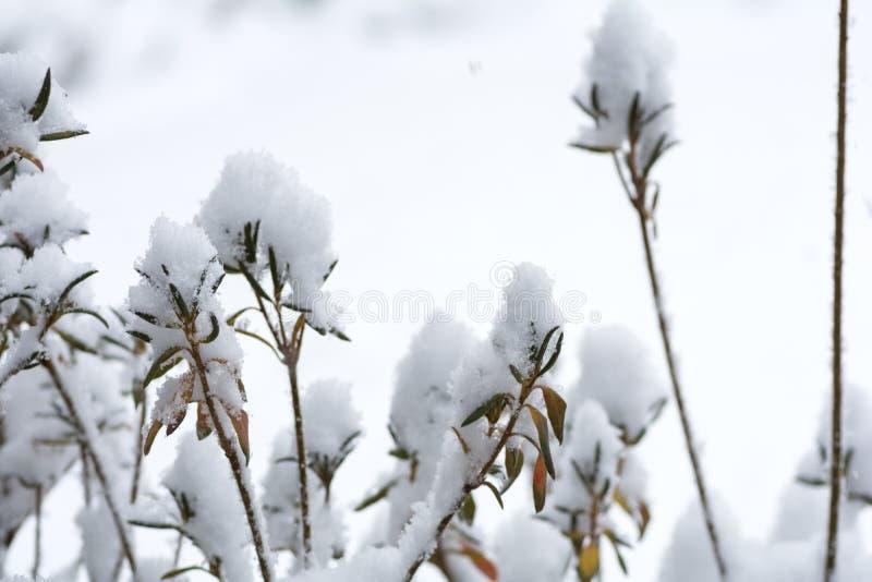 Snöig azaleaträd arkivfoton
