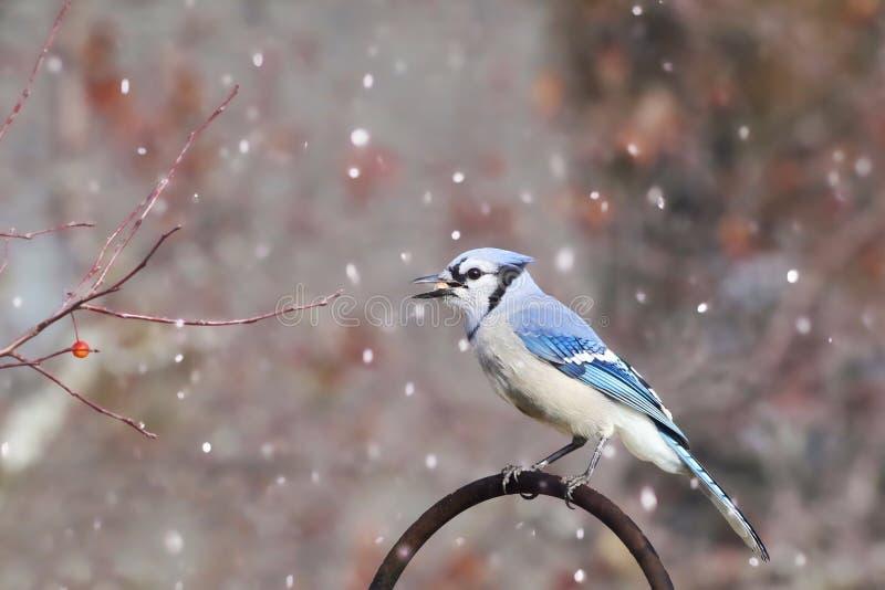 Snöig blå nötskrika royaltyfria bilder