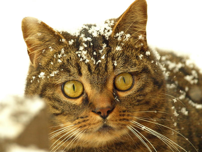 Snöig brittisk katt royaltyfri bild