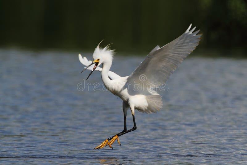 snöig egret royaltyfria bilder