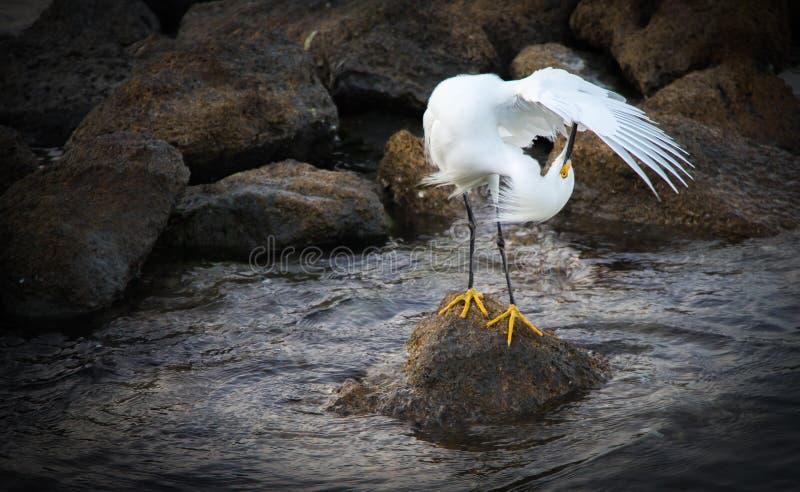 snöig egret royaltyfri bild