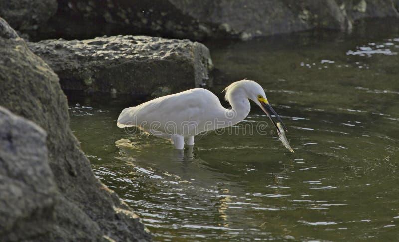 snöig egretfisk fotografering för bildbyråer