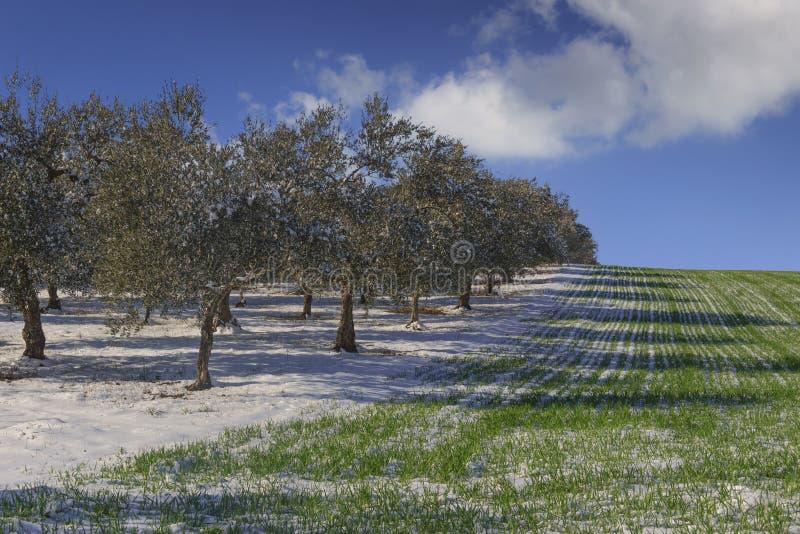 Snöig fält med den olivgröna dungen och omoget vete Mellan Apulia och Basilicata: lantligt vinterlandskap med snö som domineras a royaltyfria foton