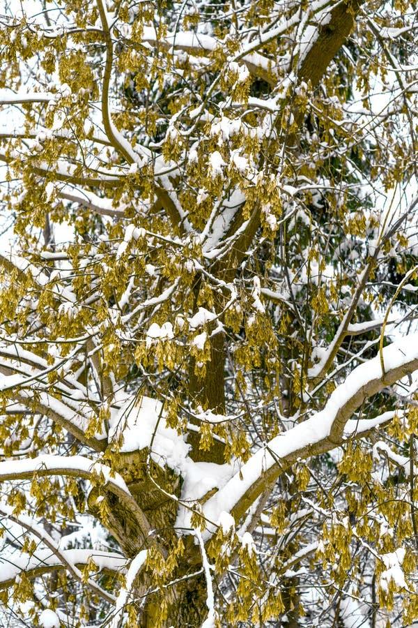 Snöig filialer av det stora trädet med gul frukt på dem arkivbilder