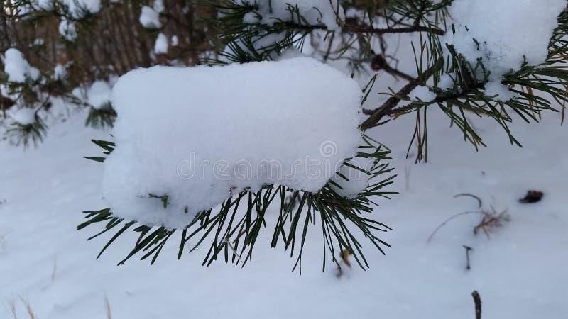Snöig gran royaltyfri foto