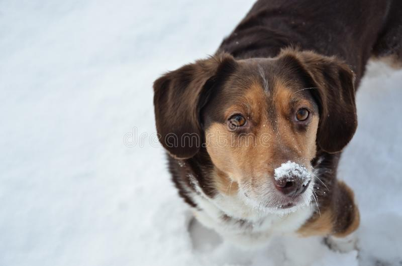 Snöig näshund royaltyfri fotografi