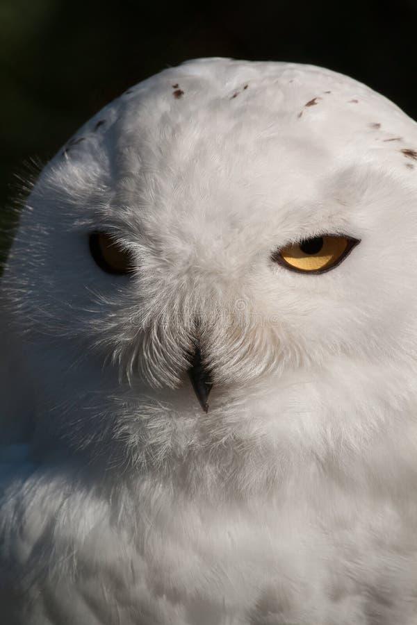 Download Snöig Owl fotografering för bildbyråer. Bild av sight - 27287333