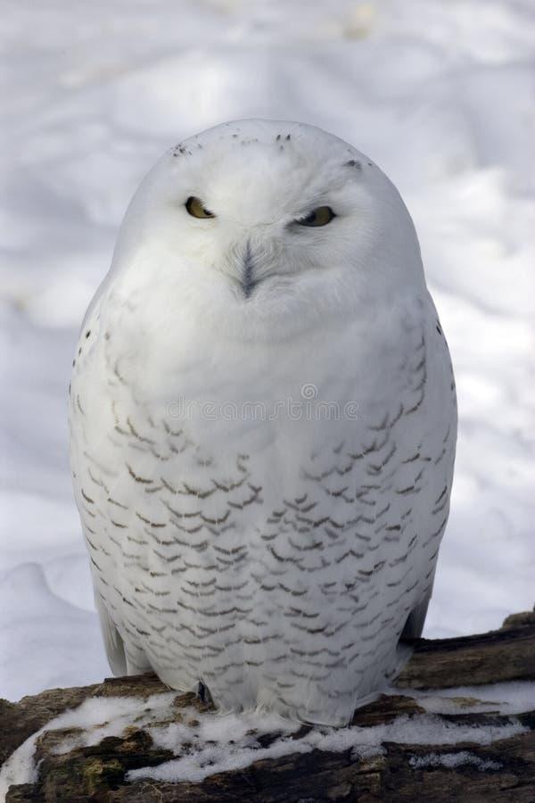 snöig owl royaltyfria foton