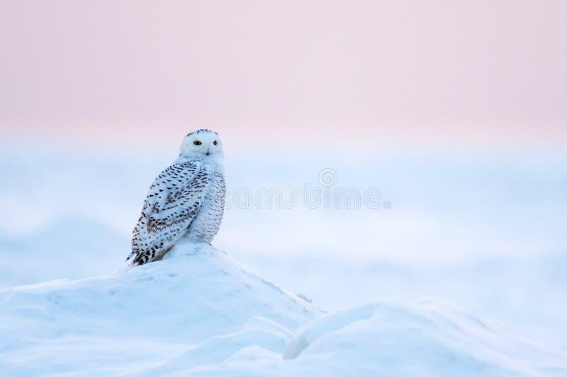 Snöig Owl Bubo scandiacus i vinter arkivbilder