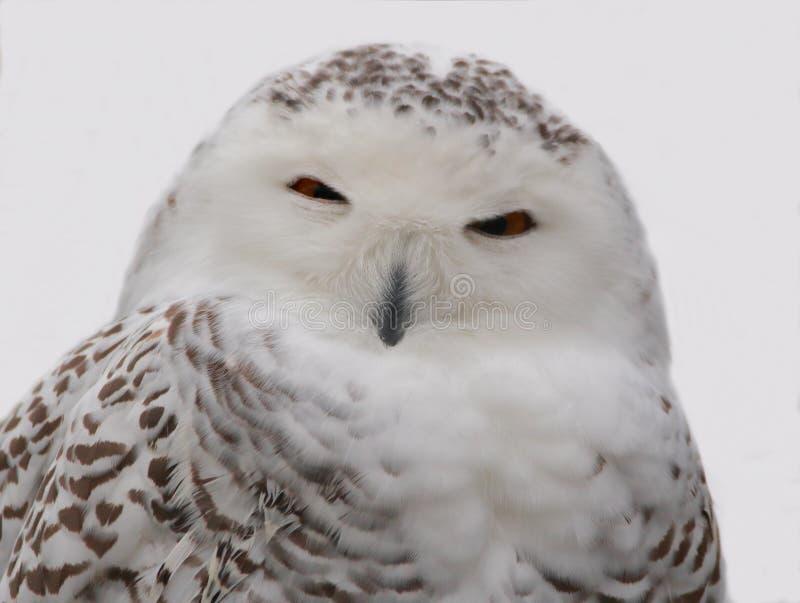Snöig Owl Close upp royaltyfria foton