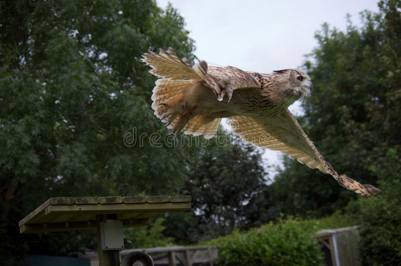 Snöig Owl Gliding royaltyfria foton