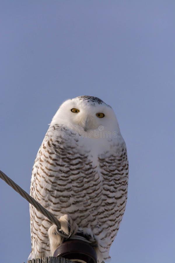 Snöig Owl Perched upp höjdpunkt arkivbild
