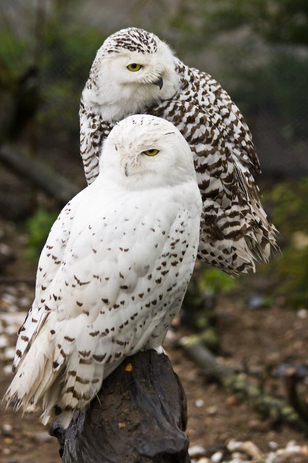 snöig owls arkivfoton