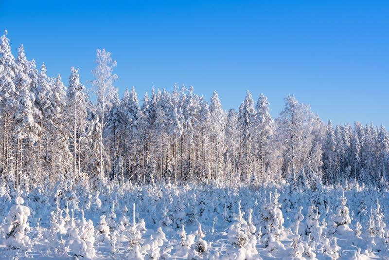 Snöig pinjeskogvinterlandskap i östliga Finland arkivfoton