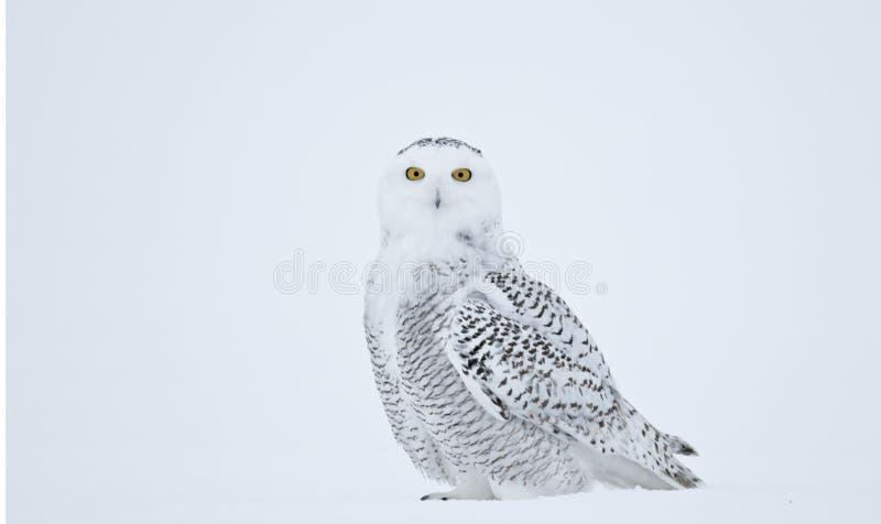 Snöig posera för uggla royaltyfria bilder