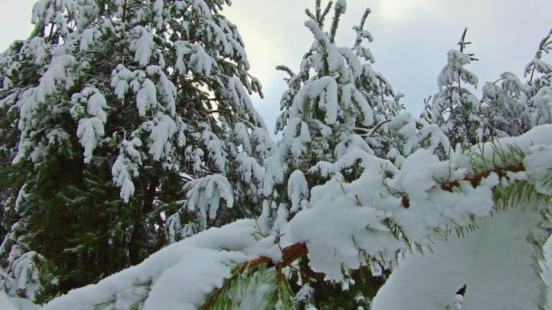 Snöig sörja träd i vinterskog på den guld- solnedgången Guld- solstrålar som skiner hopinjeskogen som täckas i snö på vintern arkivbild