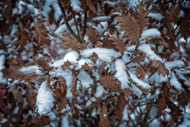 Snöig sidor i vinterekskogen arkivfoton