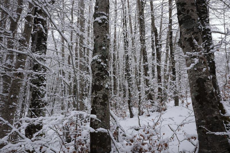 Snöig stammar av skogen arkivbild