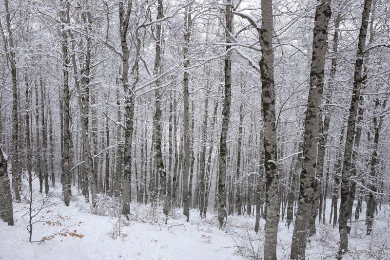 Snöig stammar av skogen royaltyfri fotografi