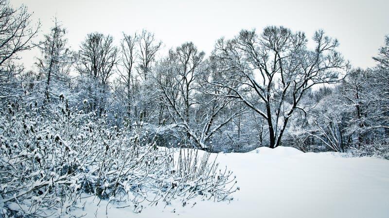 Snöig träd och buskar i skog i skymning fotografering för bildbyråer