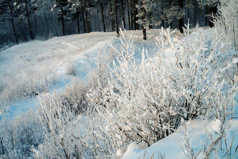 Snöig träd och buskar i skog på den soliga dagen royaltyfri bild
