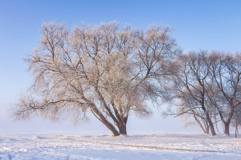Snöig träd på den soliga vinterdagen för ligganderussia för 33c januari ural vinter temperatur Frostiga träd parkerar in mot klar fotografering för bildbyråer