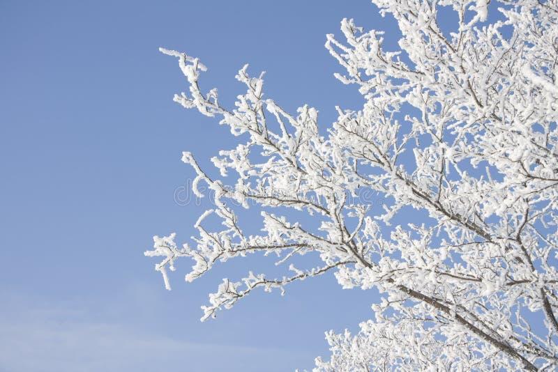 snöig tree för filial royaltyfri fotografi